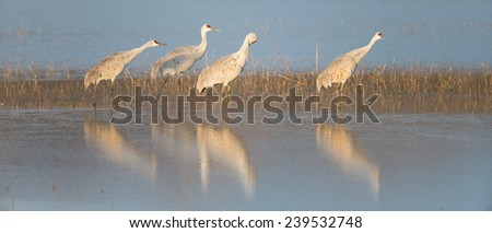 Sandhill cranes and reflections at Bosque del Apache National Wildlife Refuge in San Antonio New Mexico - stock photo