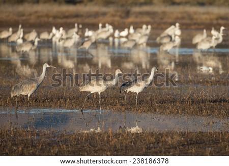 Sandhill cranes at Bosque del Apache National Wildlife Refuge in San Antonio New Mexico - stock photo