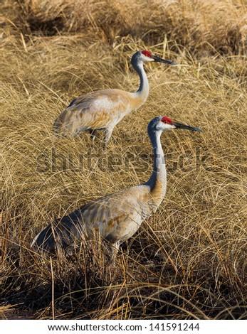 Sandhill Cranes at Crex Meadows Wildlife Area - stock photo