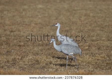 Sandhill cranes feeding at Bosque del Apache National Wildlife Refuge in San Antonio New Mexico - stock photo