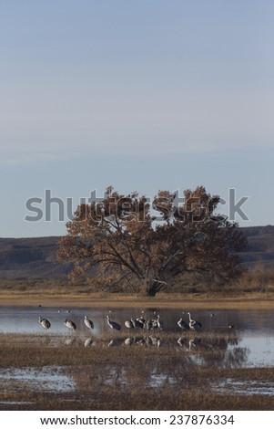Sandhill cranes feeding in fields after sunrise at Bosque del Apache National Wildlife Refuge in San Antonio New Mexico - stock photo