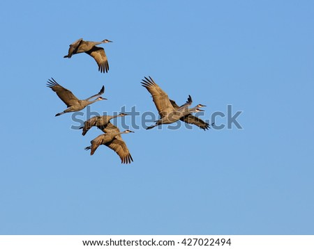 Sandhill cranes flying against a blue sky - stock photo