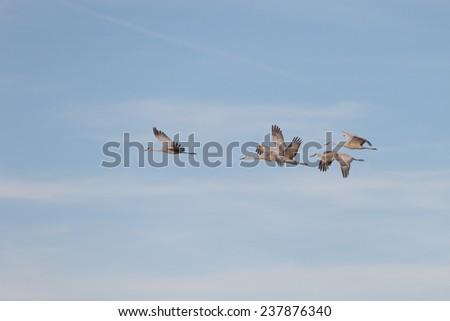 Sandhill cranes flying against blue skyat Bosque del Apache National Wildlife Refuge in San Antonio New Mexico - stock photo