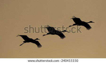 Sandhill cranes flying at sunset in Bosque del Apache National Wildlife Refuge in San Antonio New Mexico - stock photo