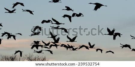 Sandhill cranes flying at sunset near Bosque del Apache National Wildlife Refuge in San Antonio New Mexico - stock photo