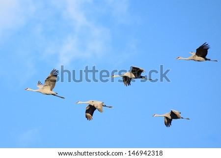 Sandhill Cranes (Grus canadensis) in Flight - stock photo