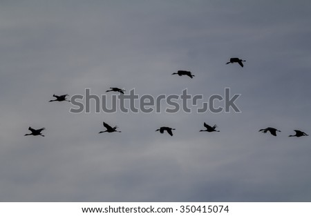 Sandhill Cranes (Grus canadensis) silhouetted against evening sky as they approach roosting area near Muleshoe National Wildlife Refuge.  Flying in V formation.