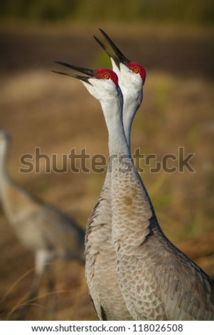 Sandhill Cranes honk during sunrise before they take flight - stock photo