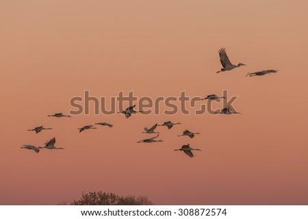 Sandhill Cranes in Flight at Sunrise - stock photo