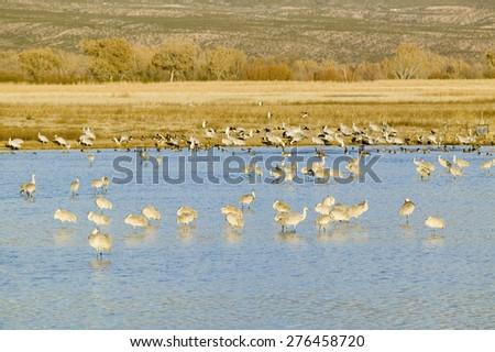 Sandhill cranes on lake at sunrise at the Bosque del Apache National Wildlife Refuge, near San Antonio and Socorro, New Mexico  - stock photo