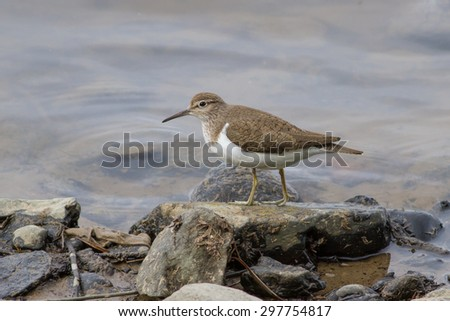 sandpiper at river elbe