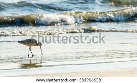 Sandpiper bird searching for food in the beach sand - stock photo
