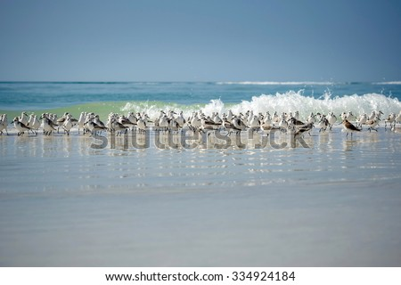 Sandpiper flock at a winter Siesta Key beach in Florida - stock photo