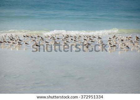 Sandpiper flock at a winter Siesta Key beach in Florida - stock photo