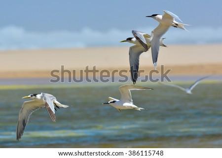 Sandwich Tern and Swift tern flying - stock photo