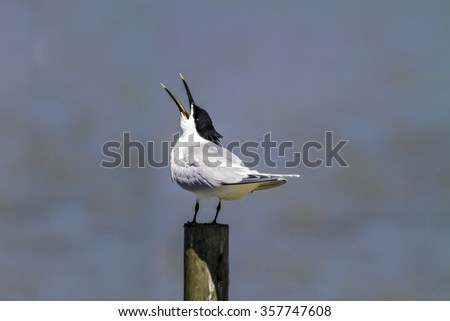 Sandwich tern Sterna sandvicensis, Poole Harbour, Dorset standing on a post calling - stock photo