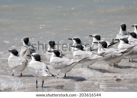 Sandwich Terns - stock photo