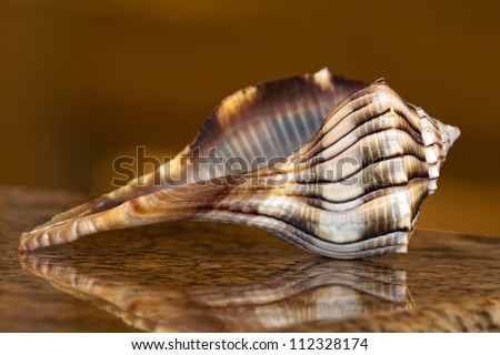 Sanibel Island Lightning Whelk - stock photo