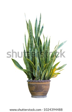 Sansevieria in flowerpot,white background with clipping path.