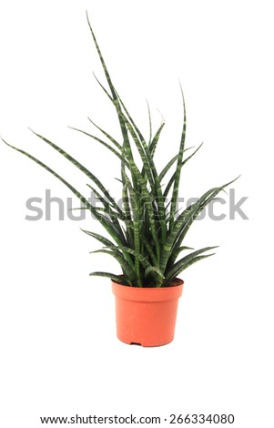 Sansevieria plant isolated on the white background