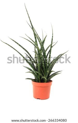 Sansevieria plant isolated on the white background - stock photo