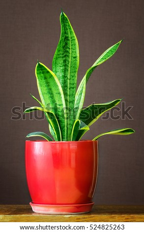 Sansevieria trifasciata in a red flowerpot. Sansevieria trifasciata may be also called mother-in-law's tongue, devil's tongue, jinn's tongue, bow string hemp, snake plant and snake tongue.