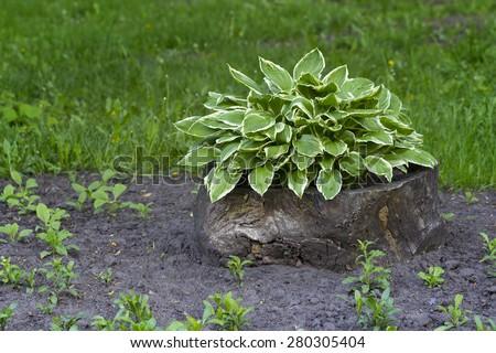Sansevieria trifasciata or snake plant growing outdoors - stock photo
