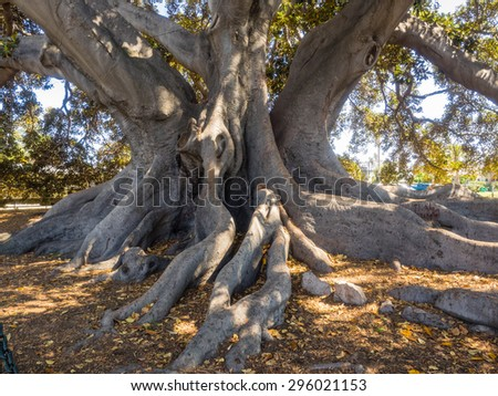 Santa Barbara's Moreton Bay Fig Tree located in Santa Barbara, California is believed to be the largest Ficus macrophylla in the United States.