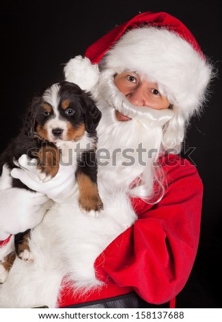 Santa claus bringing a 6 weeks old puppy bernese mountain dog - stock photo