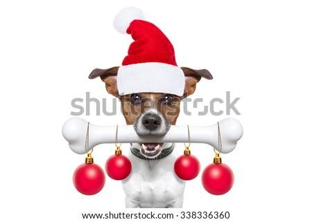 santa claus dog holding a big bone with mouth , isolated on white background on christmas holidays - stock photo