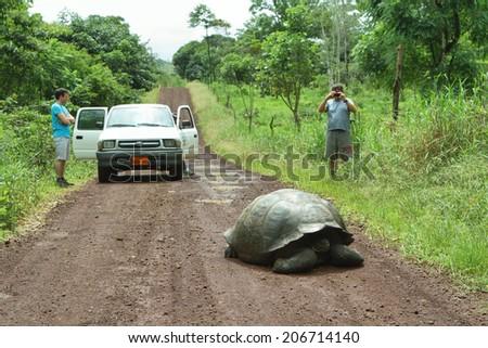 SANTA CRUZ, ECUADOR - MAY 3: A wild endangered giant Galapagos tortoise crossing a dirty road with tourist people looking for him on May 3, 2014 in Santa Cruz Island highlands, Galapagos, Ecuador - stock photo