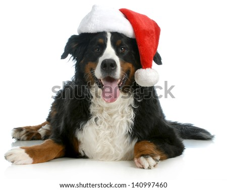 santa dog - bernese mountain dog wearing santa hat on white background - stock photo