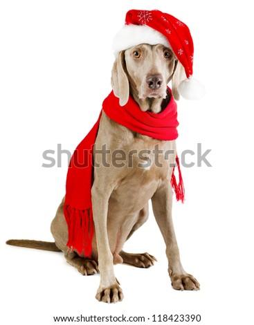 santa dog  isolated on white - stock photo