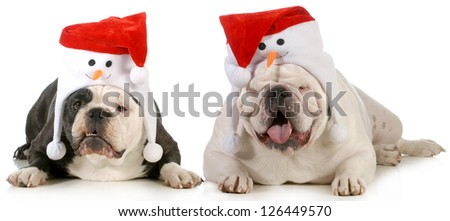 santa dog - two dogs dressed up with cute santa hats on white background - stock photo