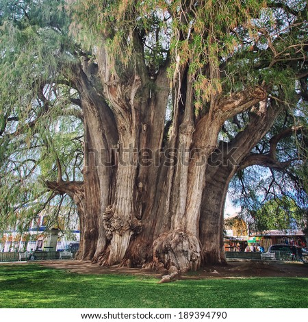 SANTA MARIA DEL TULE, MEXICO - MARCH 18, 2011: Famous 2000 year old Montezuma cypress tree, known as the 'The Tree of Tule', which is one of the oldest, largest and widest trees in the world. - stock photo