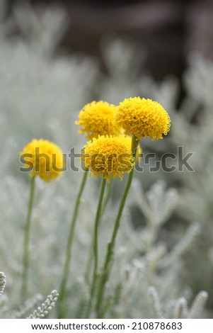 santolina chamaecyparissus commonly known as cotton lavender. It produces masses of small yellow flowers. focus is on foliage