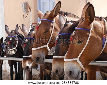 Santorini Donkeys - stock photo