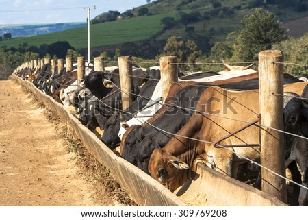 SAO PAULO, BRAZIL - June 18, 2008: A group of cattle in confinement