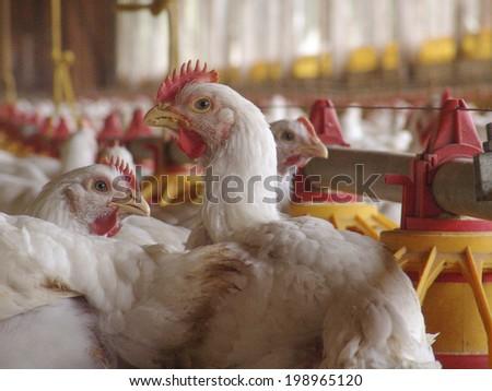 SAO PAULO, BRAZIL, JUNE 03, 2004: Chicken Farm, Poultry - stock photo