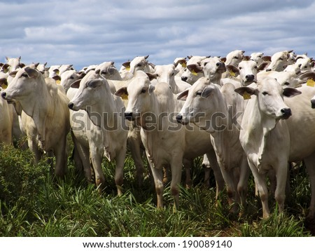 SAO PAULO, BRAZIL - MARCH 08, 2006: A group of Nelore cattle being herd through a wet field in a cattle farm in Magda, county of Sao Paulo
