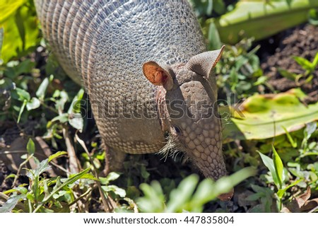 SAO PAULO, SP, BRAZIL - JUNE 25, 2016 - Nine-banded armadillo, the most common of the armadillos, American mammal of the Dasypodidae family found of the USA to Argentina
