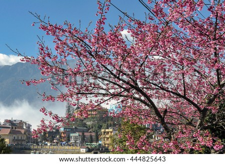 SAPA, VIETNAM, February 14, 2016 cherry blossoms, the town of Sapa, Vietnam, sunlight, early morning