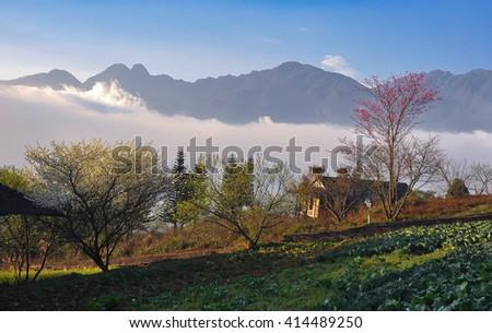 SAPA, VIETNAM, February 16, 2016 garden, peach flowers, spring, highland Sapa, Vietnam