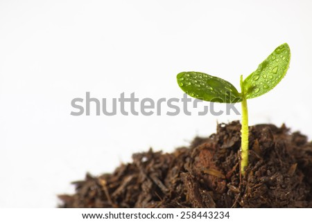 Sapling of a tree on a white background. - stock photo
