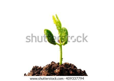 Sapling of tree And drop of water on green leaf, isolated on white, Young plant growing on soil - stock photo