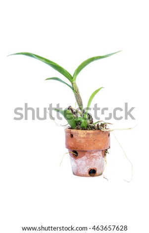 sapling orchid isolated on white background