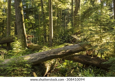 Saplings grow amongst downed giant Douglas Fir trees in Cathedral Grove, MacMillan Provincial Park, Vancouver Island, BC - stock photo