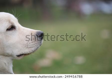 Sara Labrador retriever puppy - stock photo