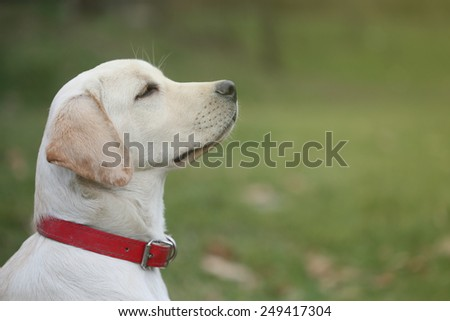 Sara Labrador retriever puppy - stock photo
