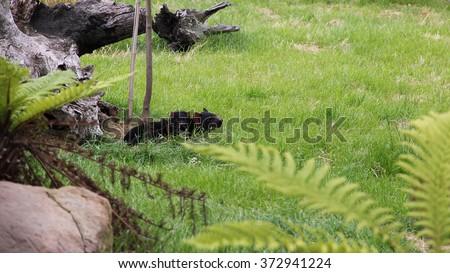 Sarcophilus harrisii - Tasmanian devil pups - stock photo